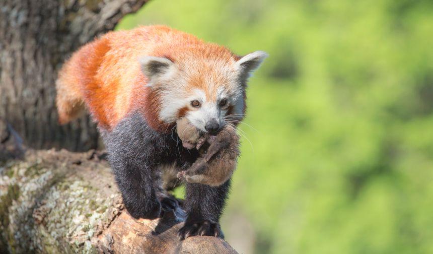 Un bébé panda roux, lui aussi menacé, est né aussi au Parc animalier d'Auvergne cette année