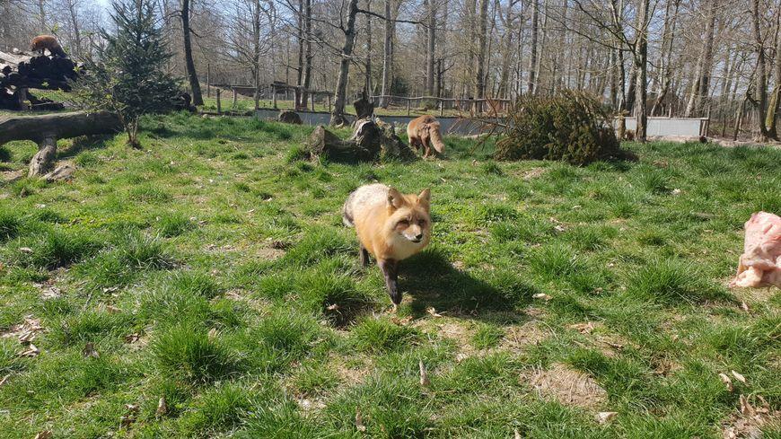 Les renards du parc animalier de ste croix