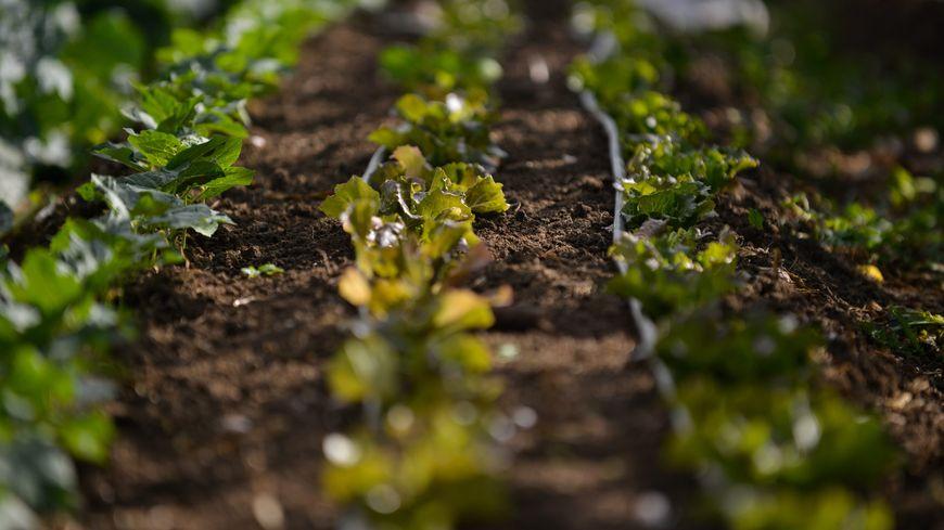 Les choux ont été particulièrement touchés par la sécheresse dans les Deux-Sèvres selon la Confédération paysanne. (Illustration)