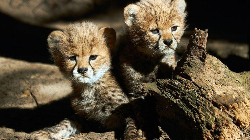 Les deux petits guépards sont présentés au public depuis le 31 juillet au zoo de la palmyre