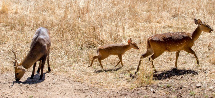 Le cerf-cochon fait partie des espèces menacées d'extinction en raison de la destruction de son habitat naturel.