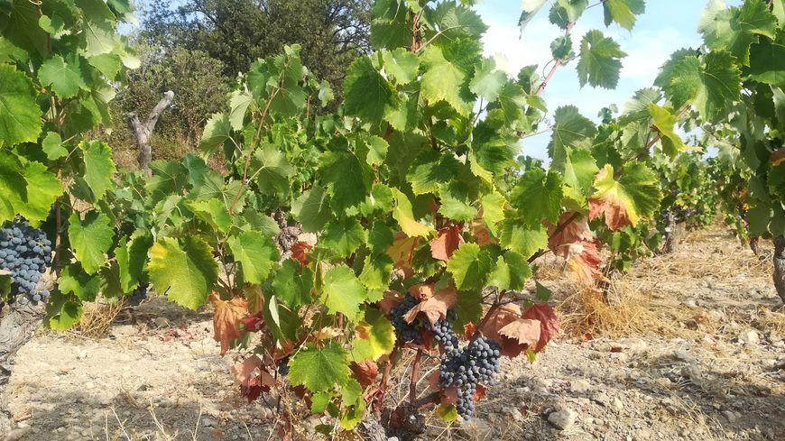 Sans eau, les vignes souffrent : les feuilles commencent à sécher et les raisins ne grossissent plus.