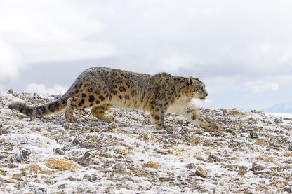 Il ne resterait que 1000 léopards des neiges dans les montagnes de Tost en Mongolie.