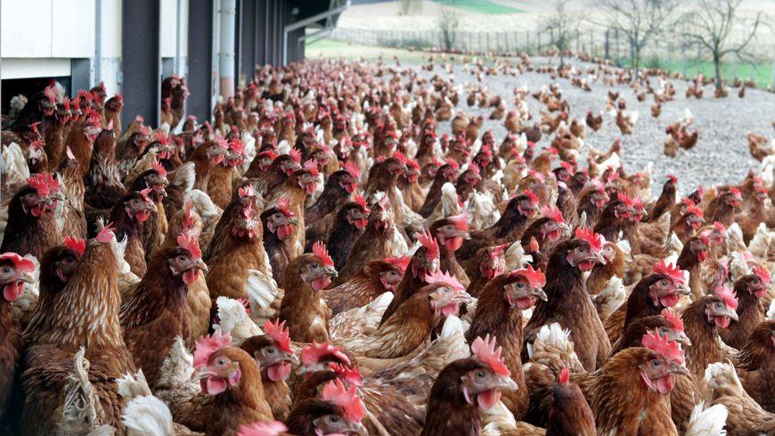 Les poules devraient être en semi liberté, sur un terrain de plus de 16 hectares.