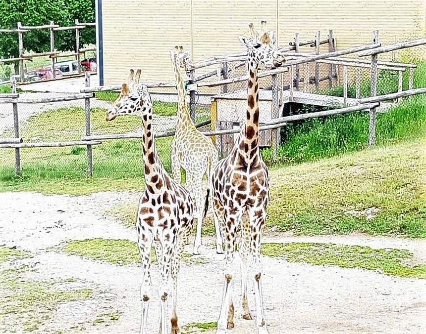 Les girafes du Parc animalier d'Auvergne