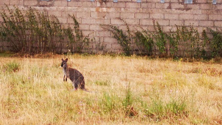 Originaire d'Australie, le wallaby, un petit kangourou