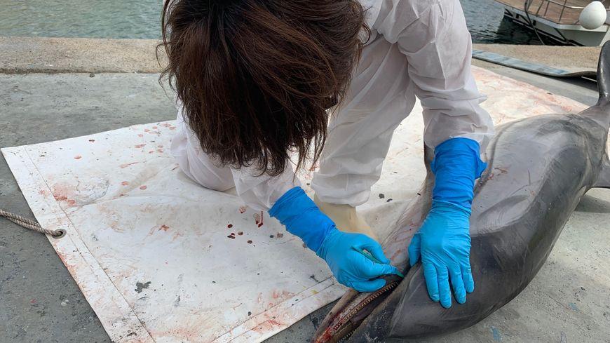 Cathy Cesarini est appelée lorsque des cétacés sont retrouvés morts sur les côtes corses.