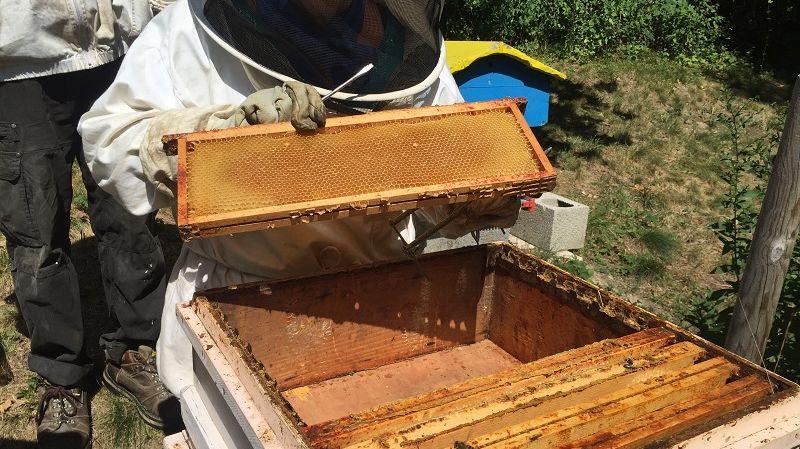 Un printemps en dents de scie, et deux périodes de canicule cet été. Résultat : la récolte de miel en Savoie est maigre.
