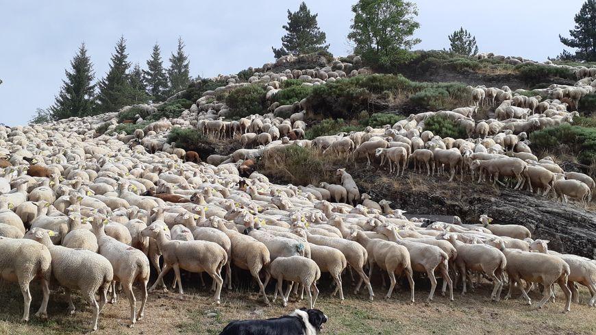De tradition séculaire, la transhumance illustre l'attachement des éleveurs et des lozériens à leurs coutumes et à leur identité.