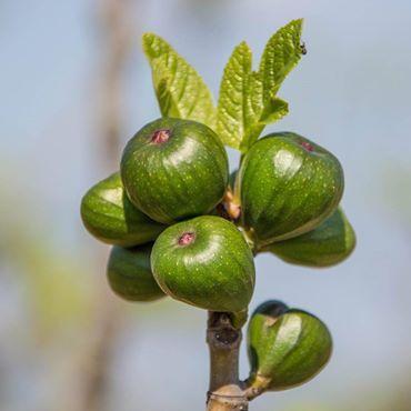 a déguster frais ou séchée, la figue est facile à vivre