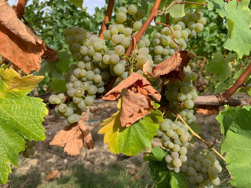 Au vignoble des Verdots, la sécheresse devrait provoquer une baisse de 20% des rendements pour les blancs secs cette année, mais la qualité est au rendez-vous.
