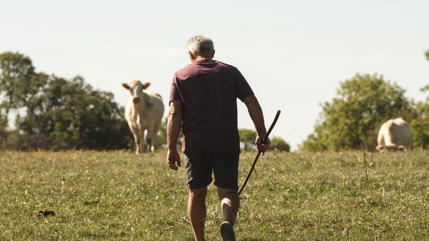 L'éleveur a été percuté par l'un de ses taureaux