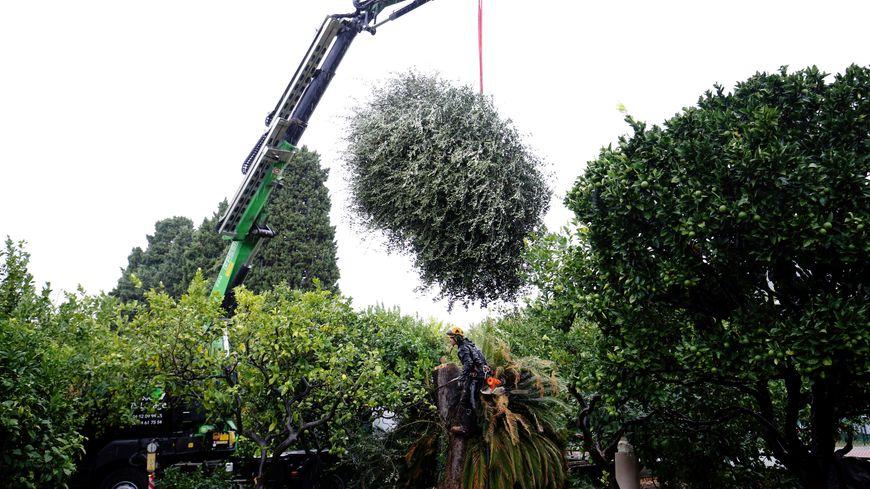 """Mardi matin, l'olivier contaminé par la bactérie """"Xylella"""" a été abattu ainsi que deux autres arbres à proximité, aux jardins du palais Carnolès."""