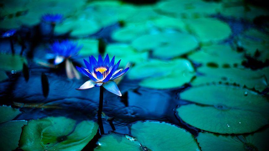 Lotus - Photos