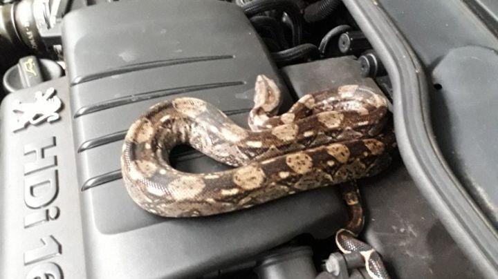 Le boa a été retrouvé dans ce moteur en maintenance dans un garage