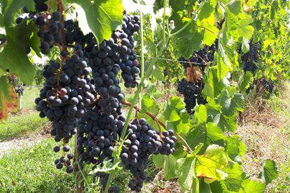 Si les vendanges ont commencé en blanc, le raisin pour le rouge n'est pas encore tout à fait à maturité.