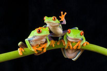 Le chœur des grenouilles