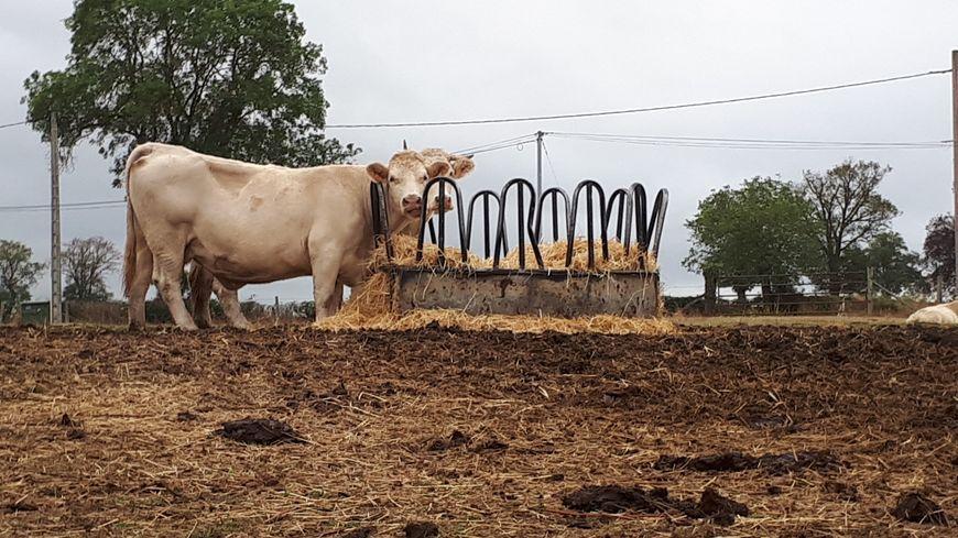 faute d'herbe dans les champs, cela fait déja plusieurs semaines qu'il faut du fourrage pour les animaux