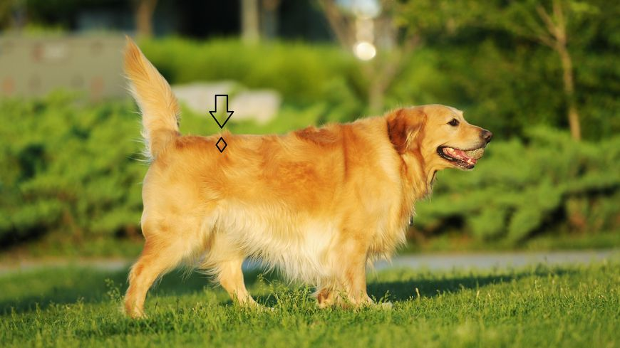 Point Shu du Rein du chien : à stimuler !