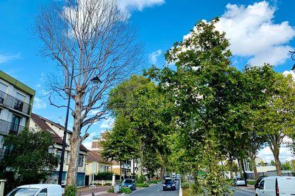 A Anthony (Hauts de Seine) les platanes malades n'ont plus de feuilles