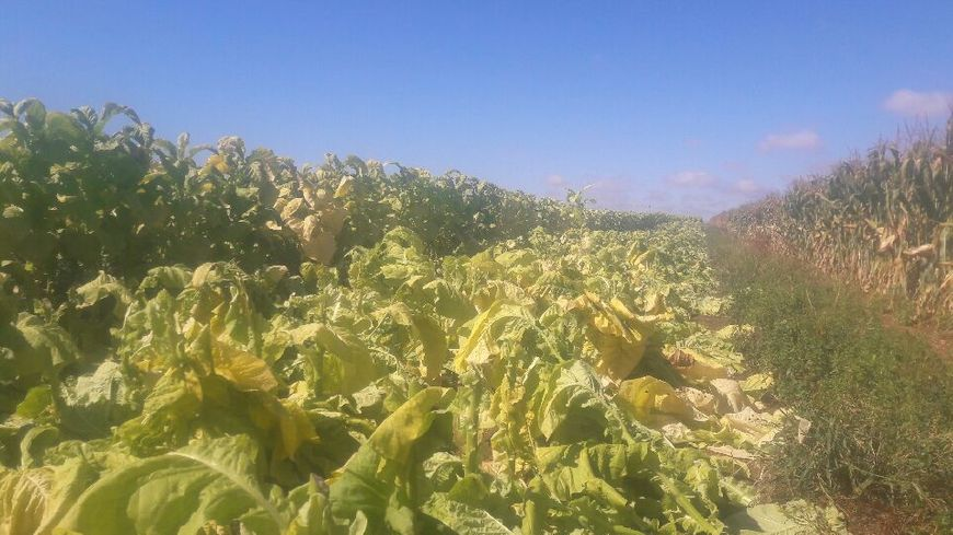 Thierry Boudaud estime que 10.000 plants de tabac ont été coupés à la serpe