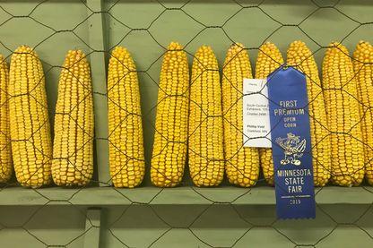Epis de maïs lors de la State Fair du Minnesota, en août 2019