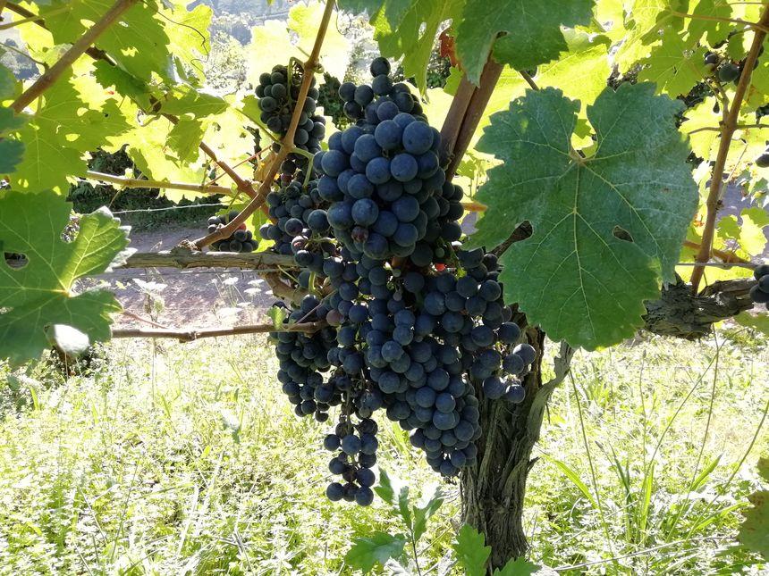 Raisins rouges dans les vignes d'Irouléguy