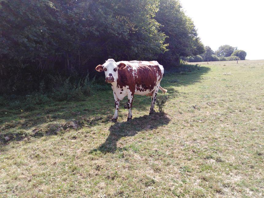 L'une des vaches de race Normande appartenant à Romain Parisse.
