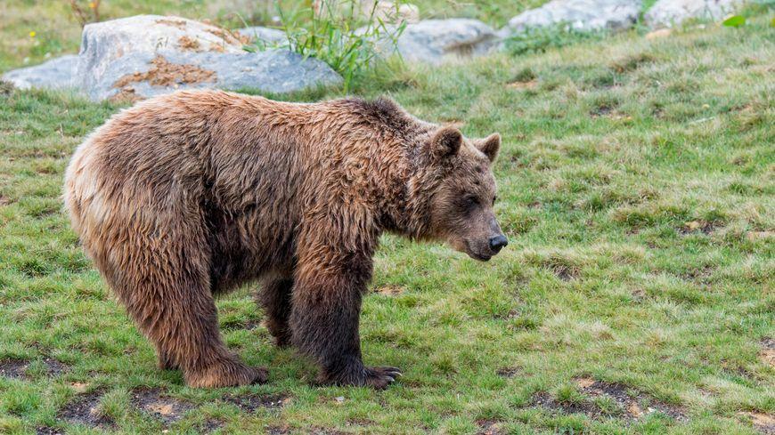 Illustration. L'ours Douillous a été relâché en pleine forêt