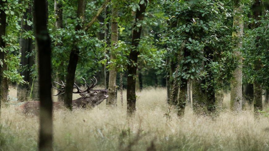 Un cerf bramant dans la forêt de Mormal