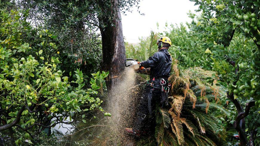 A Menton, l'olivier contaminé par la bactérie Xylella Fastidiosa a été arraché.