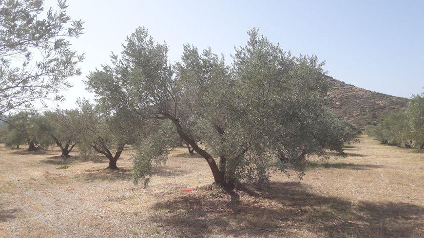 Dans ce verger à Saint-Jean-de-la-Blaquière, la moitié des arbres ne donneront aucune olive