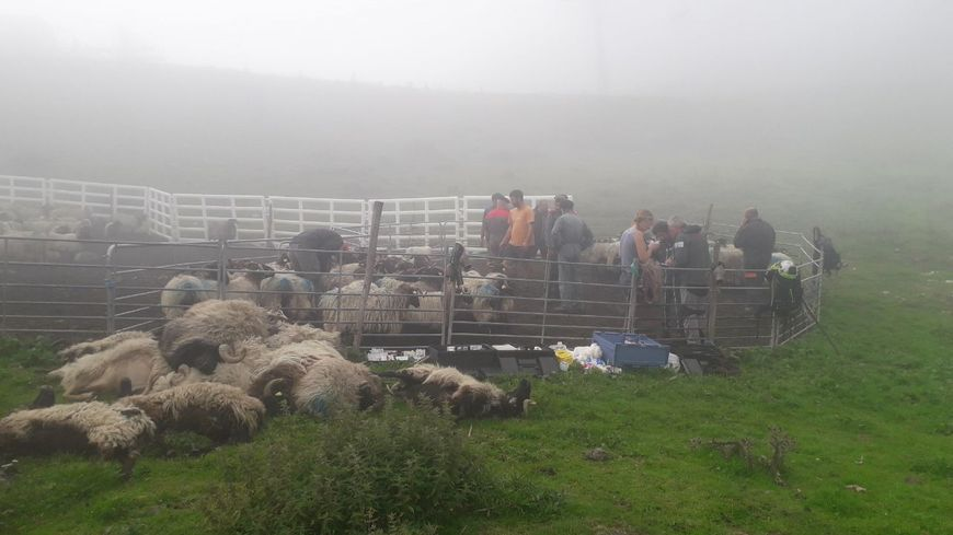 Des éleveurs des alentours sont venus aider à rechercher les bêtes disparues, et inspecter les blessées.