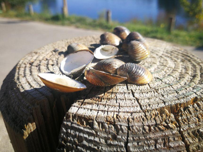 Les corbicules sont ces mollusques qui proviennent des rivières asiatiques et qui mangent les phytoplanctons de nos cours d'eau.