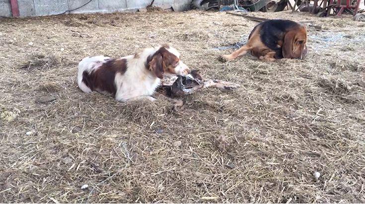Des chiens qui mangent leurs congénères dans un élevage de Dordogne