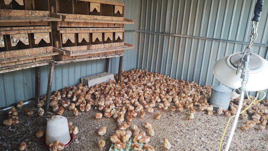 Les poussins âgés de seulement trois jours se retrouveront en pleine nature dans six semaines (Nézignan-l'Évêque)