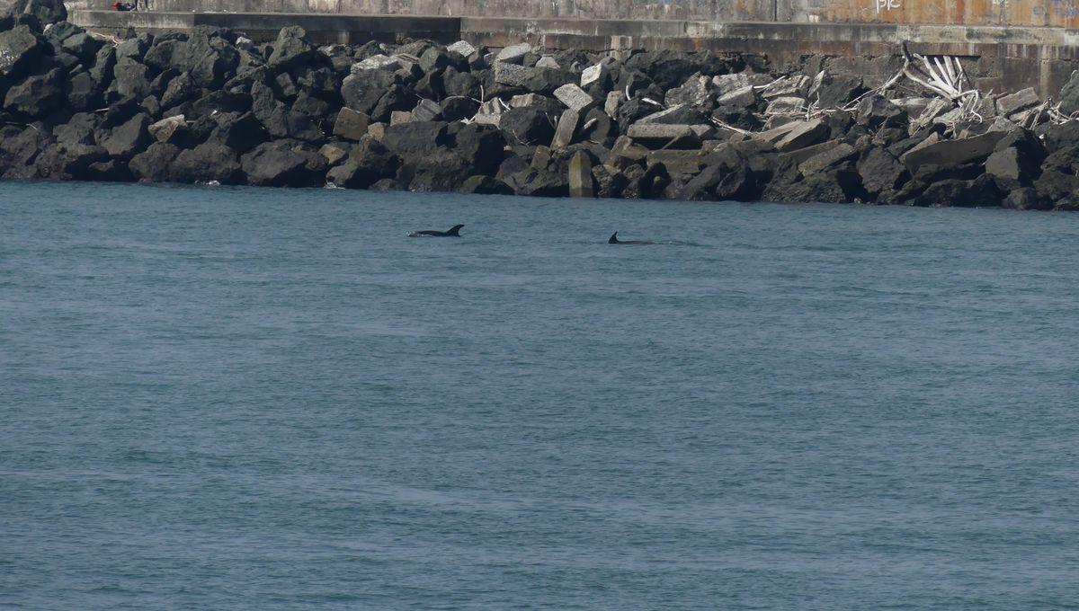 [VIDEO] Des dauphins à Anglet entre l'Adour et l'océan