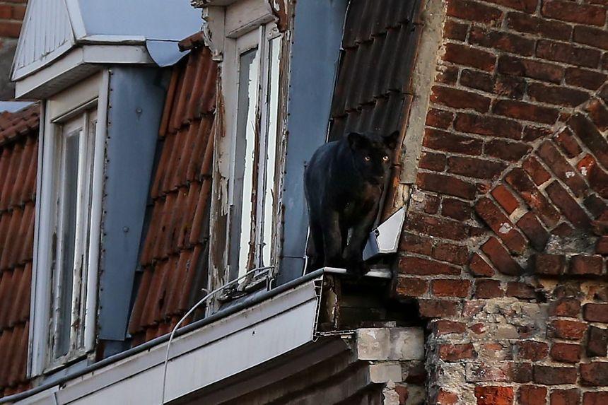 La panthère noire d'Armentières volée au zoo de Maubeuge.