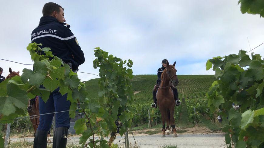 Les chevaux se déplacent facilement au milieu des vignes