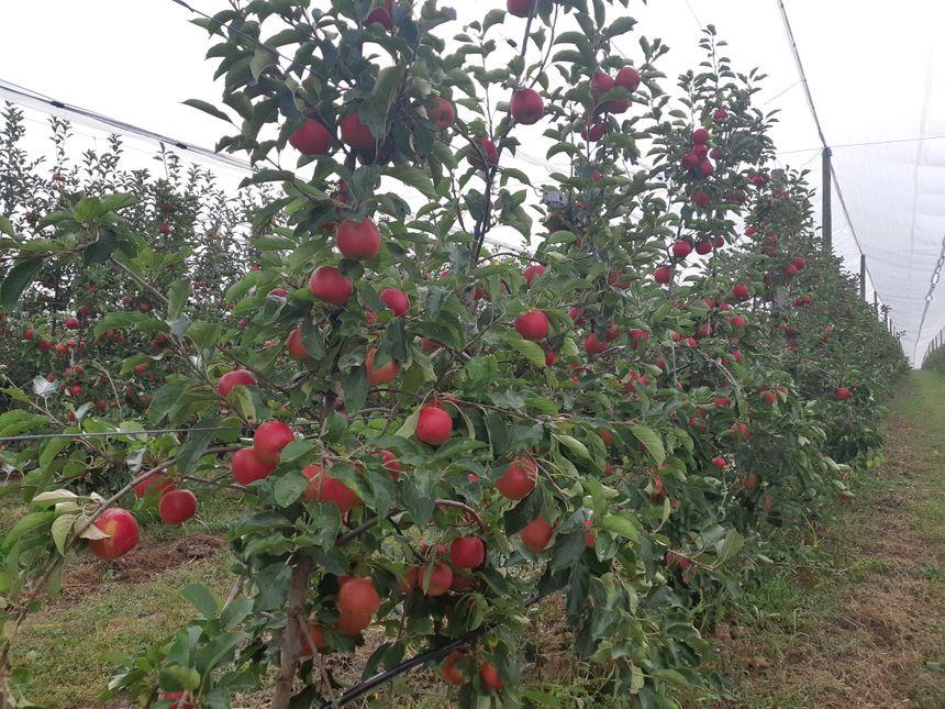 """Le verger de pommes Alsace """"Natti"""" à Brumath."""