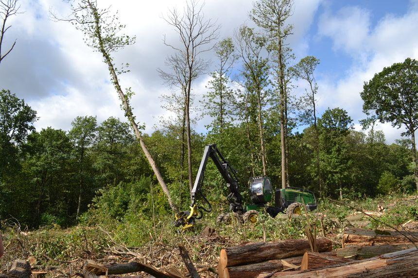 L'office national des forêts doit faire des coupes sanitaires pour éviter la chute des châtaigniers morts.