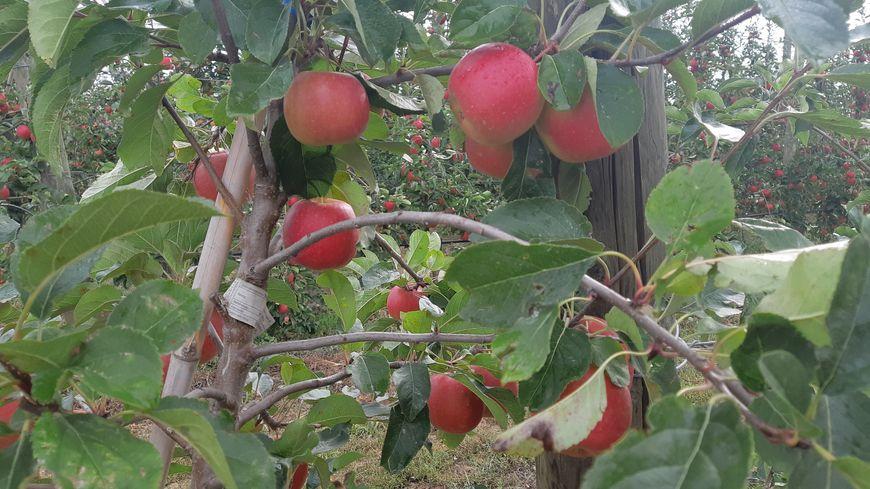 La pomme Natti, nouvelle variété en Alsace.