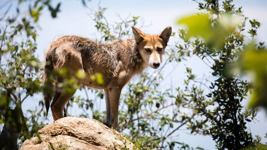 Des référents-loup sont formés pour reconnaître la présence du loup dans le département.