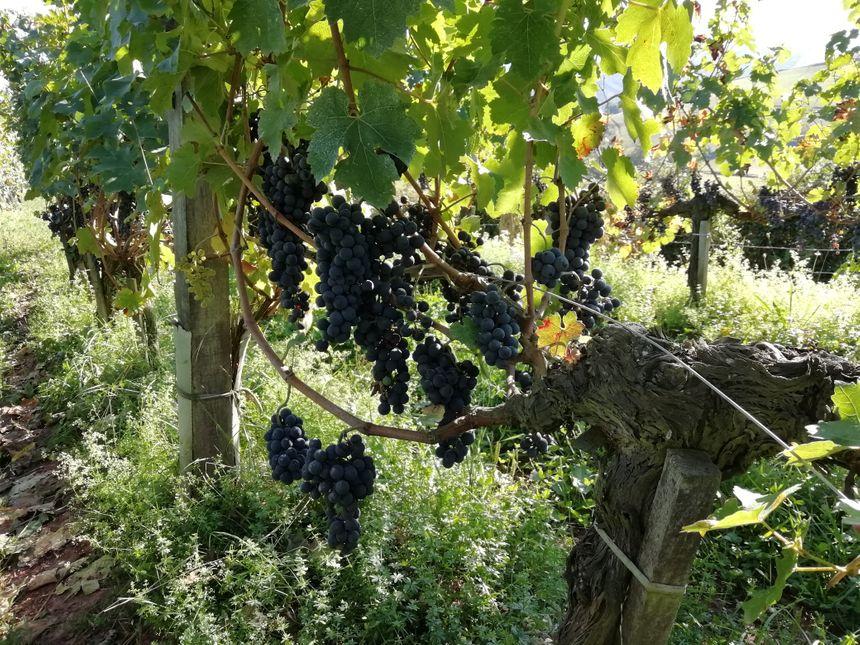 Raisin dans les vignes d'Irouléguy