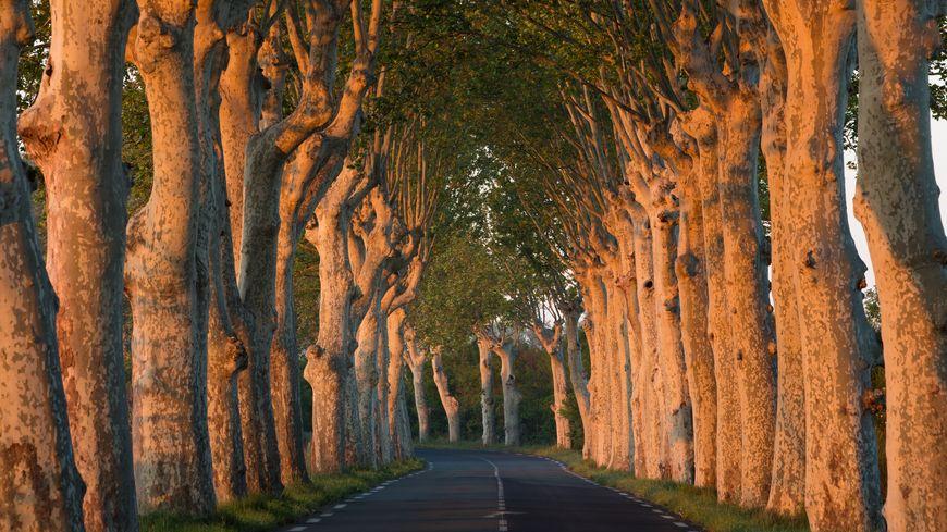 Une ligne d'arbres à l'aube sur une route en Languedoc.
