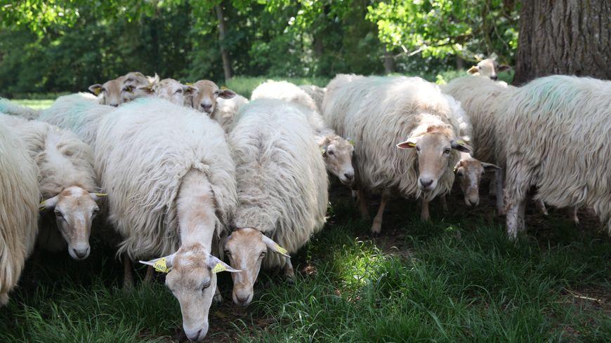 Le troupeau de brebis a disparu à Saucats.