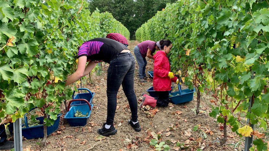 Les premiers coups de sécateurs ont été donnés ce lundi 9 septembre au vignoble des Verdots à Conne-de-Labarde dans le Bergeracois