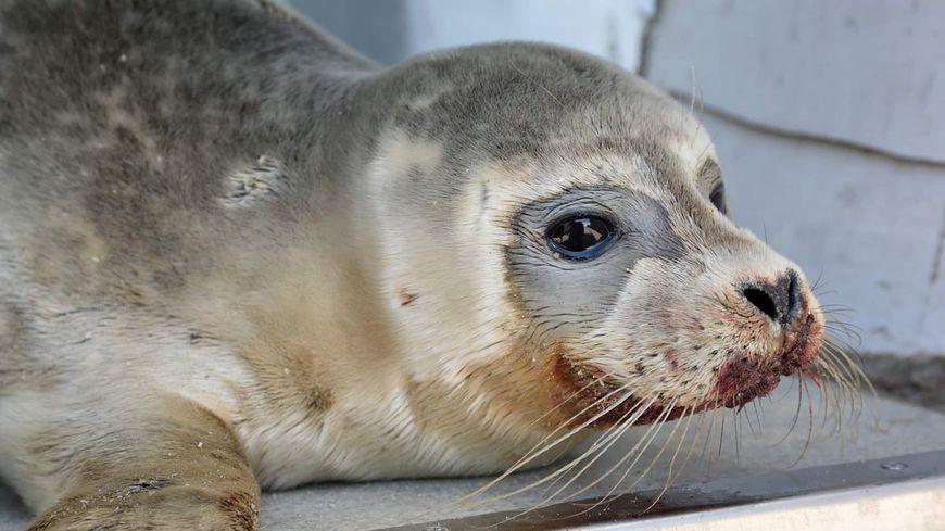 Le bébé phoque, blessé par un pêcheur à Dunkerque, n'a pas survécu.