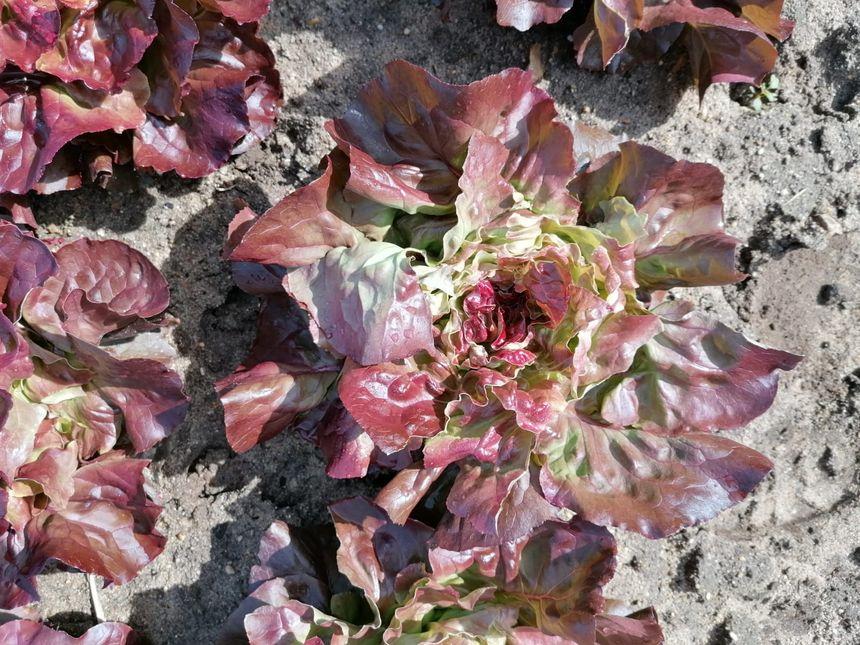 Les cervidés mangent la pomme de la salade, son cœur, sans lequel le légume ne peut être commercialisé.