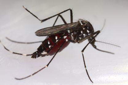 Moustique tigre (Aedes Stegomiya Albopictus). 22 juin 2016, laboratoire d'Ecologie Microbienne du CNRS de Lyon, France.